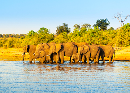 Elefanter i Chobe River