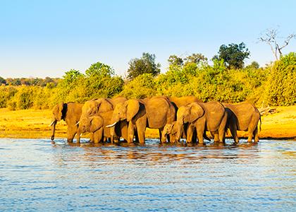 Elefanter i Chobe River