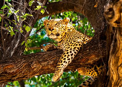 Leopard i Botswana