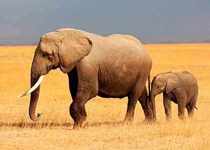 Elefanter i Amboseli