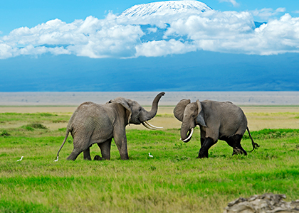 Elefanter i Amboseli National Park