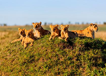 Løvefamilie i Masai Mara, Kenya