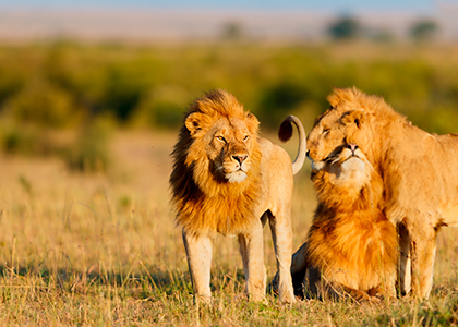 Løver i Masai Mara, Afrika