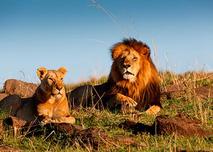 Løver i Masai Mara