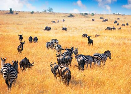 Anteloper og zebraer i Masai Mara