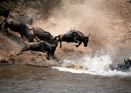 Gnu krydser Mara River i Masai Mara National Park
