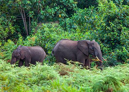 Elefanter for fodenden af Mount Kenya