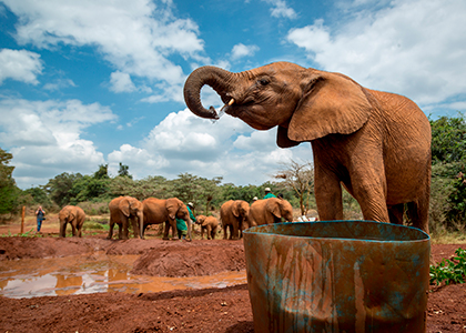 Elefanter i David Sheldrick Wildlige Trust