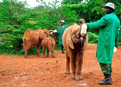 Elefantfodring i Kenya