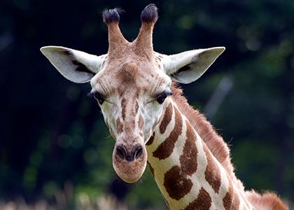 Rothschild Giraf i Kenya