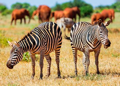 Zebraer på savannen i Tsavo East