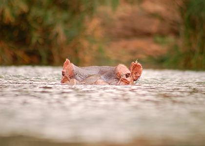 Flodhest i Tsavo West, Kenya