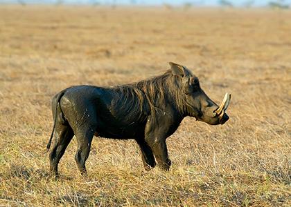 Gorongosa vildsvin