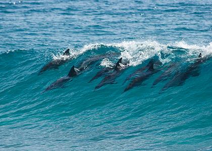 Delfiner i Tofo, Mozambique