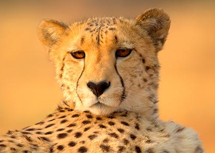 Gepard i Okonjima, Namibia