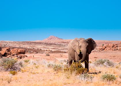 Elefant spiser i Damaraland