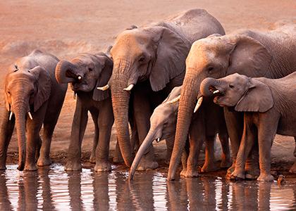 Elefanter ved et vandhul Etosha National Park