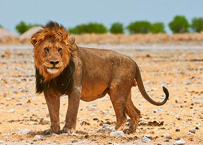 Hanløve i Etosha National Park, Namibia
