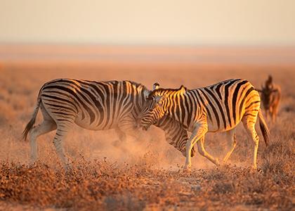 Zebraer i Etosha National Park