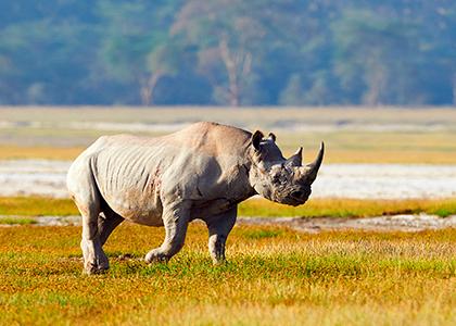 Næsehorn i Etosha National Park, Namibia