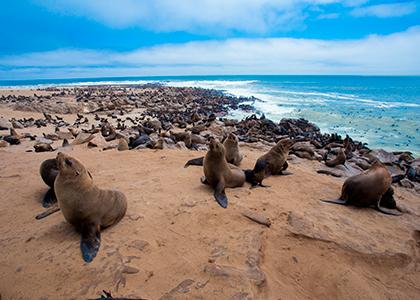Sæler på Namibias kyst