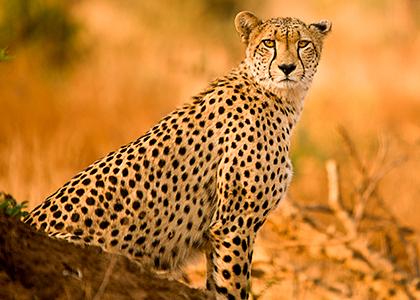 Cheetah i Sydafrika