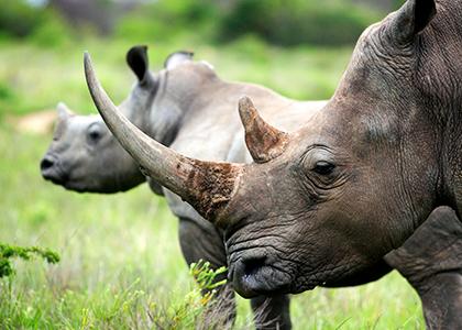 Næsehorn i Sydafrika