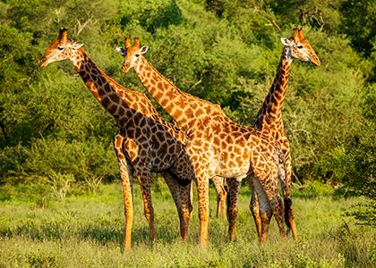 Giraffer i Kruger National Park, Sydafrika