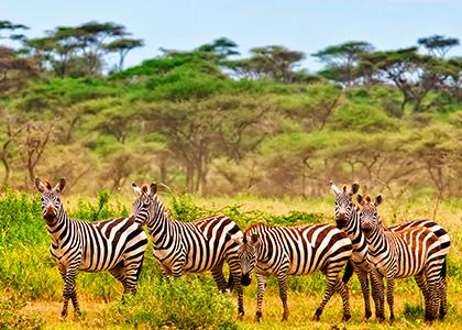 Zebraer i Kruger National Park