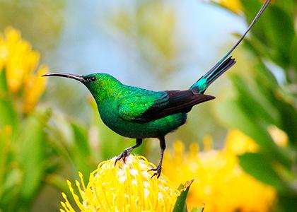 Malachite Sunbird i Sydafrika
