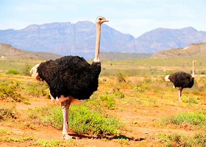 To strudse i Oudtshoorn, Sydafrika