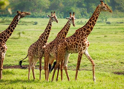 Giraffer i Arusha National Park