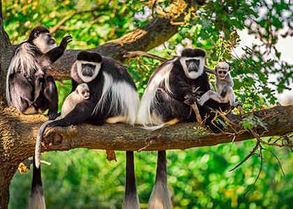 Colobusaber i et træ i Tanzania