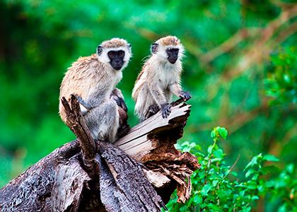 Aber i Lake Manyara, Tanzania