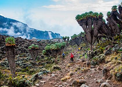 Dendrosenecio på Mount Kilimanjaro