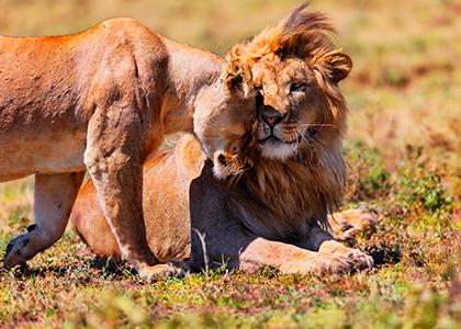 Løver i Tanzanias Ngorongoro Crater