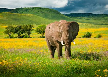 Elefant i Ngorongoro området