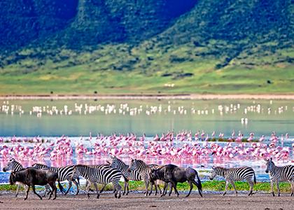 Zebraer og flamingoer i Ngorongoro crateret