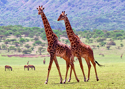 Giraffer i Ngorongoro