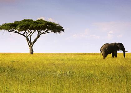 Elefant og Acaciatræ midt i Serengeti National Park