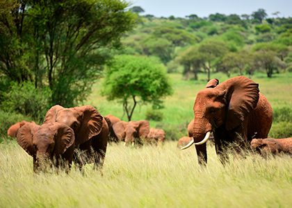 Flok elefanter i Serengeti National Park, Tanzania