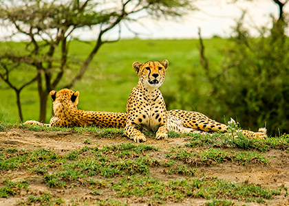 Cheetahs i Tarangire National Park