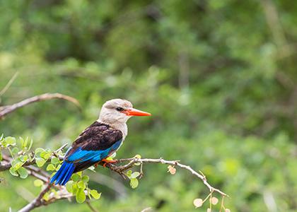Woodland Kingfisher i Lake Manyara, Tanzania