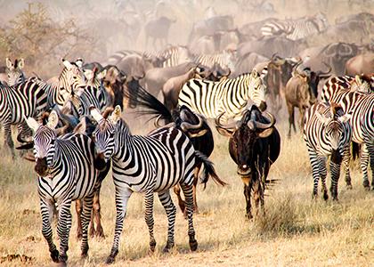 Vilde zebraer i Serengeti National Park