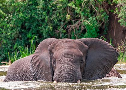Afrikansk elefant i Kazinga kanalen