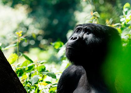 Bjerggorilla i Bwindi National Park