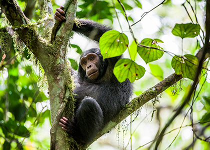 Chimpanse i Uganda