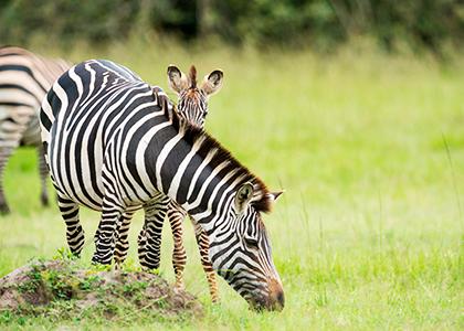 Zebra i Uganda