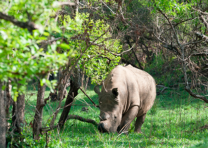 Næsehorn i Uganda