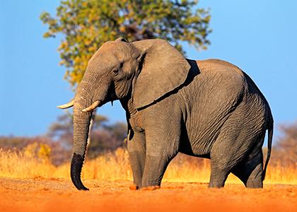 Afrikansk elefant i Hwange National Park, Zimbabwe